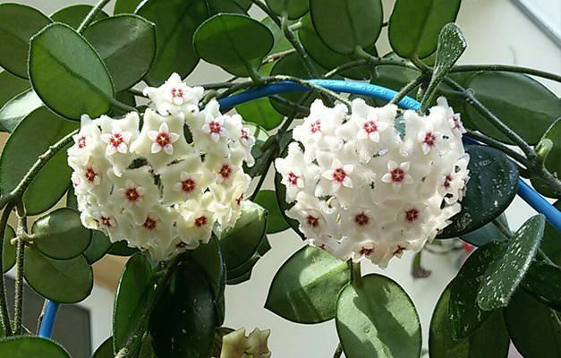 Mum çiçeği nasıl yetiştirilir