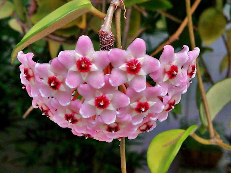 Mum çiçeği nedir