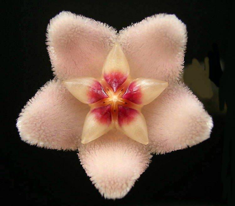 Mum çiçeği özellikleri