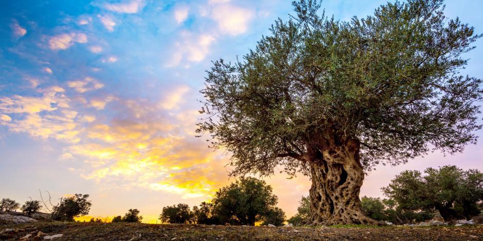 Köklerinden yeniden doğan asırlık zeytin ağaçları!