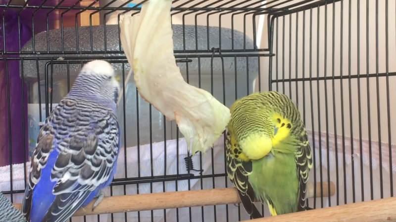 Muhabbet kuşu bakımı nasıl yapılır? Muhabbet kuşu nasıl yıkanır