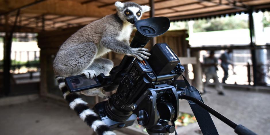 """Tarsus Doğa Parkı'nın """"Madagaskarlı"""" sakinleri"""