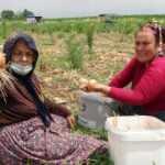 Sahibi hasat etmedi, vatandaşlar soğan tarlasına akın etti!