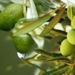 Zeytin yaprağı çayı nasıl demlenir? Zeytin yaprağı çayı faydaları...