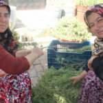 Aydın'da köylü kadınlar virüsten şifa deposu kekik suyuyla korunuyor