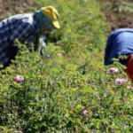 Kuraklık 'gül'ü vurdu: Rekolte yüzde 50 azaldı
