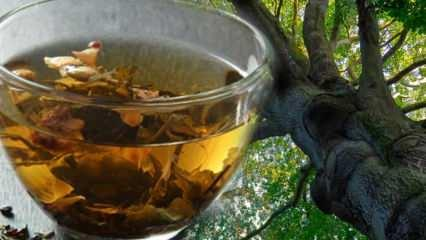 Kayın ağacının faydaları nelerdir? Kayın ağacı nasıl kullanılır?