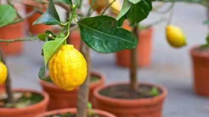 Evde saksıda limon nasıl yetiştirilir? Limon yetiştirmenin ve bakımının püf noktaları