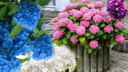 Ortanca çiçeğine evde nasıl bakılır? Ortanca çiçeği çoğaltma yöntemleri