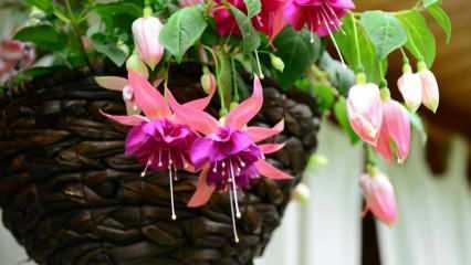 Küpe çiçeğinin nedir, bakımı nasıl yapılır?  Küpe çiçeğinin özellikleri ve faydaları nelerdir