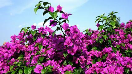Begonvil çiçeği bakımı ve sulaması nasıl yapılır? Begonvil çiçeği özellikleri nelerdir