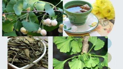 Ginkgo biloba bitkisinin faydaları nelerdir? Gingo biloba çayı nasıl yapılır?