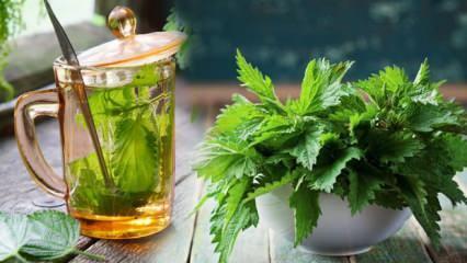 Isırgan otu çayı faydaları nelerdir? Kan dolaşımını arttıran ısırgan otu nasıl kullanılır?