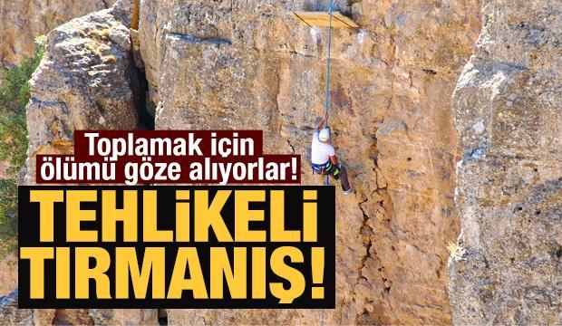 Tehlikeli tırmanış! Toplamak için ölümü göze alıyorlar...